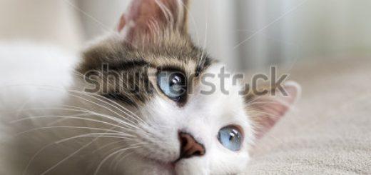 stock-photo-blue-eyed-cat-259729697